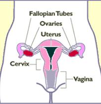 FemaleUterusovaries
