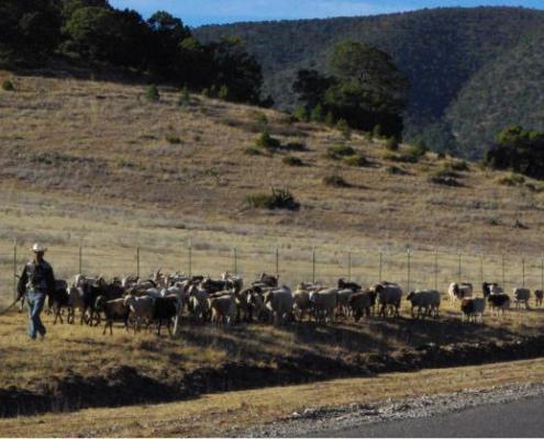 Shepard Leads Sheep