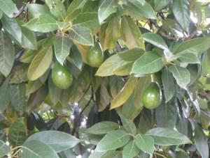 Avacadas grow well in the area.
