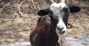 Israel's law against Palestinian goats is self-inflicted wound for Zionism