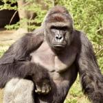 Clemson Says Harambe Memes 'Promote Rape Culture'