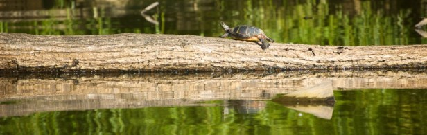 Painted turtle on a log in Lake Truesdale (photo by Rob Cummings)