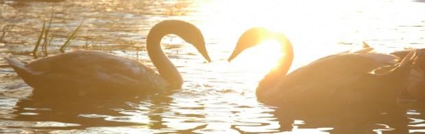 cropped-swans_heart_necks.jpg
