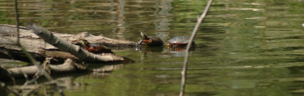 Painted Turtles sunning themselves. (photo by Rob Cummings)