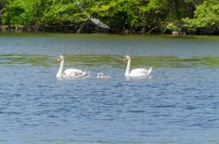 Swans and Cygnets (Photo by Rob Cummings)