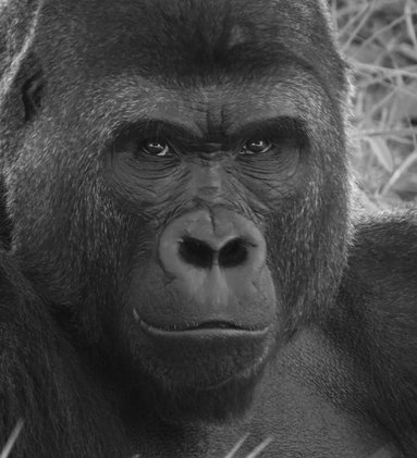 thrd_gorilla
