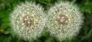 Dandelion clocks representing vanishing twin and time themes of the article