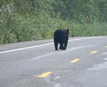 Bear walking down the street