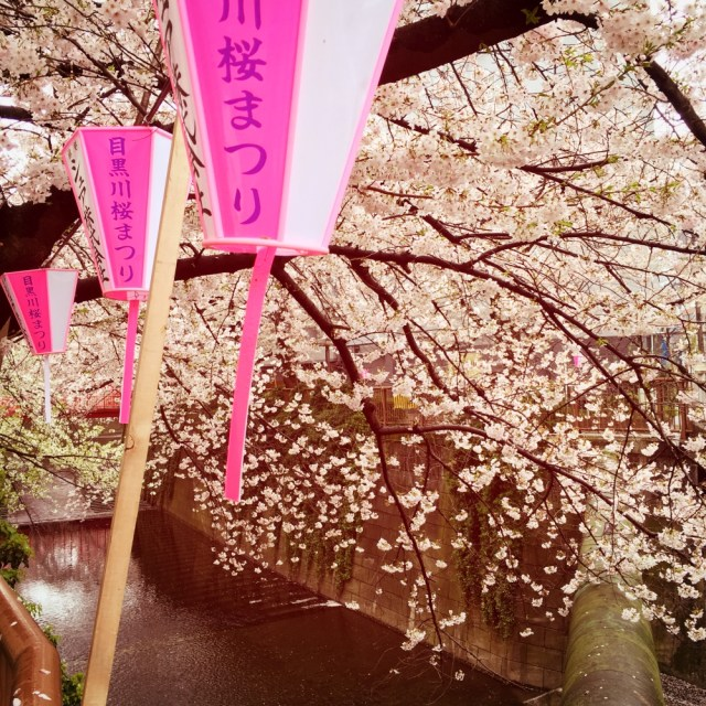 Cherry Blossom Season in Nakameguro -- Photo by Lauren Shannon
