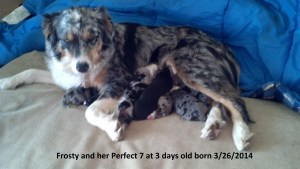 Frosty with her Perfect 7 Aussie pups