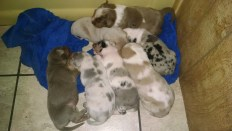 Catahoula Puppies 16 days