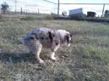 Aussie Pup F1 MissTwoFace2