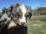 Aussie Pup F3 Lilly