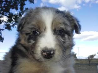 Aussie Pup F4 Lolley