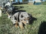 Aussie Pup M1 Jack Frost