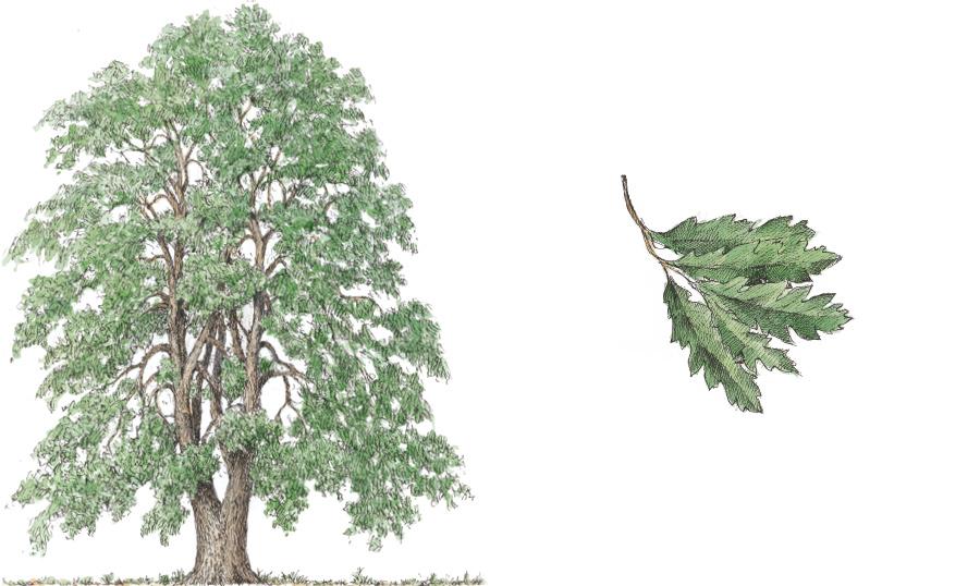 Turkey Oak (Quercus cerris)