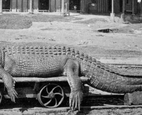 Truii data visualisation, analysis and management Saltwater crocodile caught in the town reach of the Johnstone River Innisfail ca. 1903