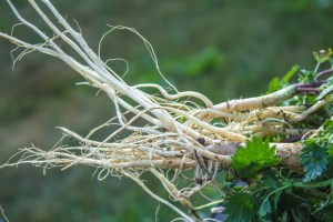 white root of young nettle for herbal medicine. One of the main ingredients in Testogen also known as stinging nettle