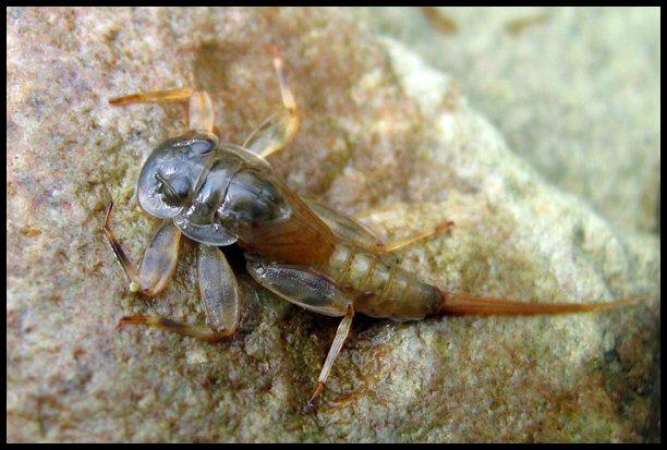 larves et insectes aquatiques truites