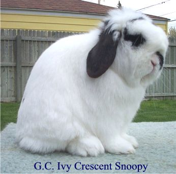 Haley's Great Grand Sire - Photo taken from www.ivycrescenthollands.com