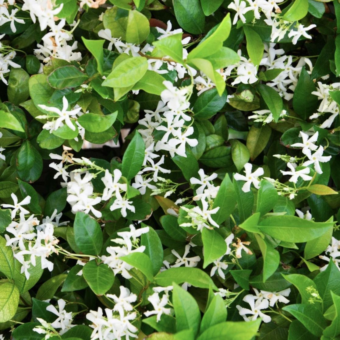 jasmine, confederate star jasmine, bouquet, flower garden, nature