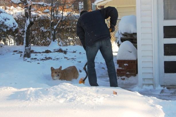 corgi in the snow