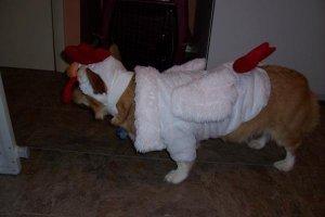 Corgi in a Chicken Costume