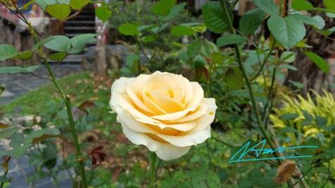 tvhs-pic-hoa-da-lat-010217-11