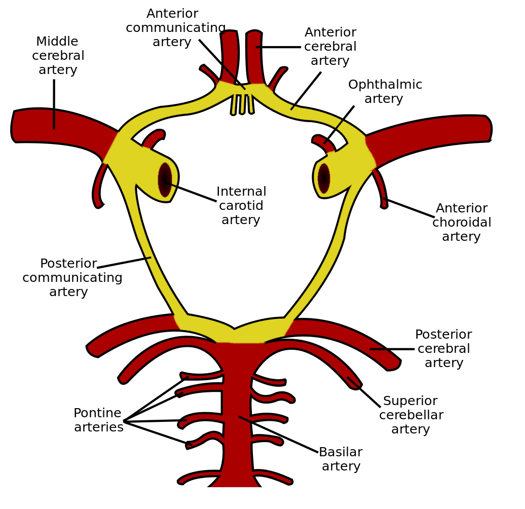 Schematic Of The Circle Of Willis