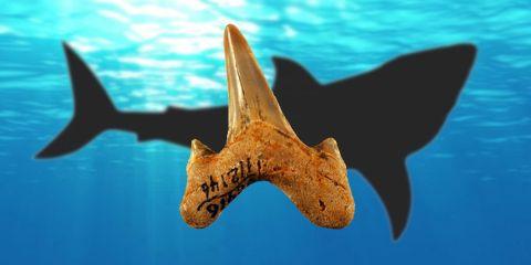 megalodon-requin-dent-prehistorique