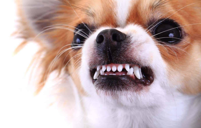 Pourquoi les petits chiens ont-ils tendance à se montrer plus agressifs ?