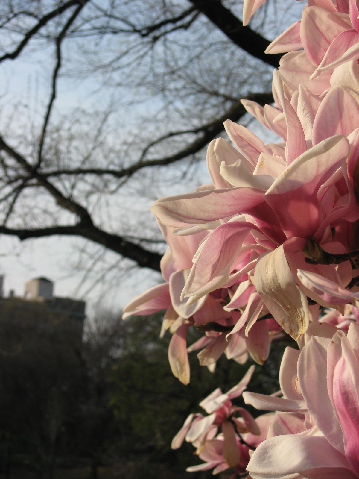 Magnolias in spring, Prospect Park, Brooklyn