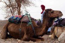 camello y bereber- camel and berber