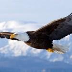 Homer, Alaska, United States — Bald Eagle in mid-air flight over Homer Spit Kenai Peninsula Alaska Winter — Image by © AlaskaStock/Corbis
