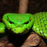 desktop-viper-snake-photos-wallpaper