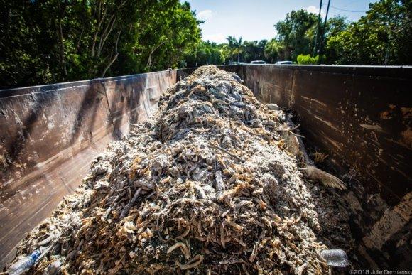 Dumpster on Sanibel Island full of dead fish.