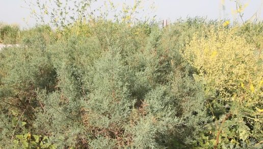 tamarisk bushes