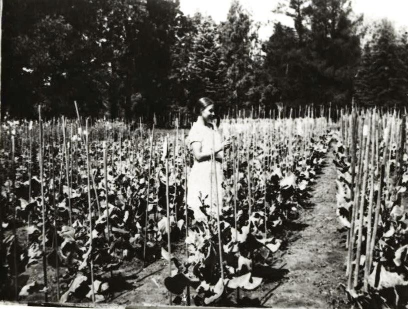 Посевы капустно-редечных гибридов