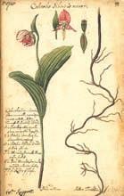 Рисунок орхидеи рода Cypripedium из дневника, сделанный с живых растений около Тобольска