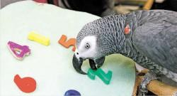 Фото попугая Алекса из газеты New York Times