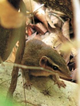 Мышиная тупайа (Dendrogale murina)