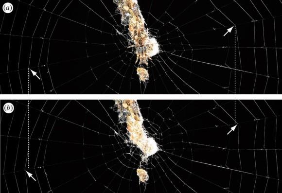 Ловчая сеть <i>Cyclosa octotuberculata</i>, украшенная мусорной подвеской. На верхнем фото паук сидит в центре этой подвески и натягивает радиальные нити паутины справа и слева от себя. Стрелками указаны точки соединения радиусов и клейких нитей. Если паук отсутствует и нити не натянуты, эти точки более удалены от центра (нижнее фото)