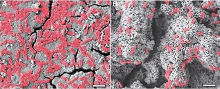 Клетки P. aeruginosa на поверхности скорлупы куриного яйца (А) и яйца кустарникового большенога (Б) после трех часов инкубации в суспензии бактерий. источник фото [1].