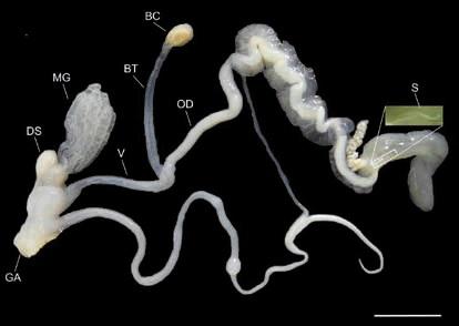 Половая система улитки E. peliomphala. После спаривания сперма из половой клоаки (GA) по вагинальному тракту попадает либо в яйцевод (OD) и сперматеку (S), где участвует в оплодотворении, либо по каналу (BT) в семяприемник (BC) — гаметолитический орган. Стрелы любви хранятся в мешочке (DS), слизь для их смазки вырабатывают пальцевидные железы (MG). Длина полоски 10 мм. Фото из [3]