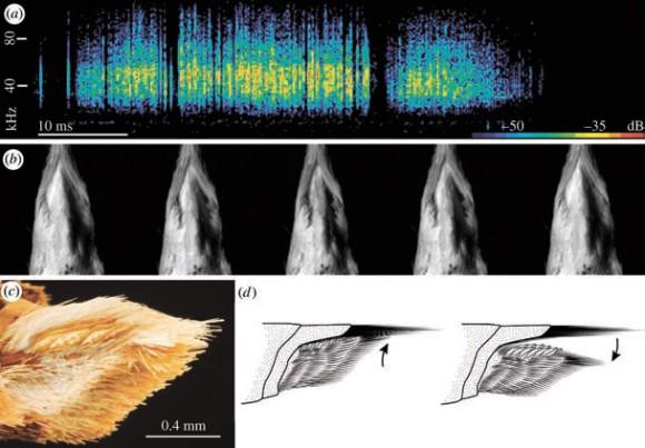 Стрекотание самца бражника Cechenena lineosa. Спектрограмма (а) и соответствующее положение брюшка самца (в). Бид сбоку на копулятивный аппарат (с-d) (рисунки из статьи)