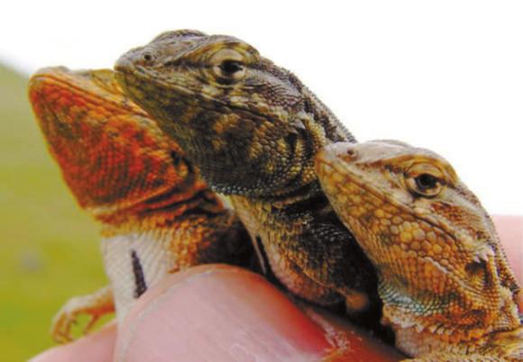 Рис. 1. Самцы игуаны Uta stansburiana. Слева направо: оранжевый («камень»), синий («ножницы») и желтый («бумага»). Оранжевые самцы захватывают территорию, охраняемую синими, но не могут уследить за желтыми тихушниками. синие не могут устоять против натиска оранжевых, но эффективно обороняются от желтых (bio.research.ucsc.edu)