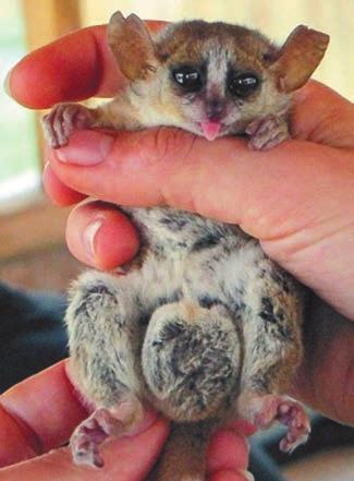 Рис. 2. Самцы мышиных лемуров Microcebus myoxinus не убивают детенышей. В период размножения их семенники увеличиваются в 5–10 раз (www.cam.ac.uk)