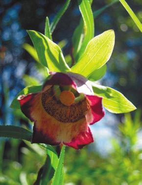 Кодонопсис (Codonopsis ussuriensis)