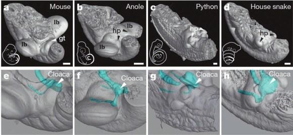 Относительное положение конечностей, гениталий и клоаки у эмбрионов наземных позвоночных: мыши (А), анолисовой ящерицы (B), питона (С) и домовой змеи (D). Пояснично-крестцовый отдел выделен белым на рисунках рядом с изображениями микрокомпьютерной томографии. В нижнем ряду —  трехмерная реконструкция клоаки. У чешуйчатых рептилий она расположена на уровне зачатков задних ног, а у мышей сдвинута к заднему концу. GT —  половой бугорок; HP — гемипенис; LB— зачатки задних конечностей; CL— клоака. Длина полоски — 200 мкм (Tschopp et al., 2014)