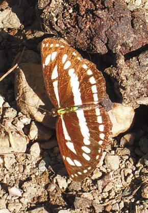 Пеструшка Neptis hylas. Деревня Гияги (2000 м). Фото А.В. Андреева, 14 октября 2011 года